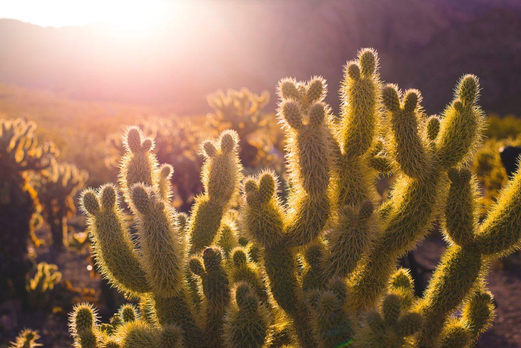 cactusvijgolie